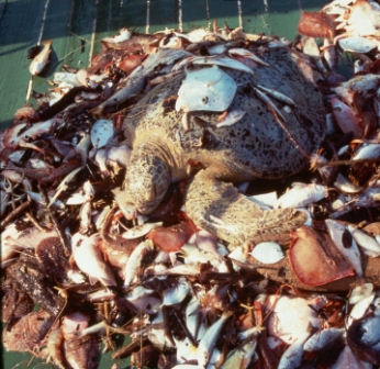 Green sea turtle killed by shrimp trawl