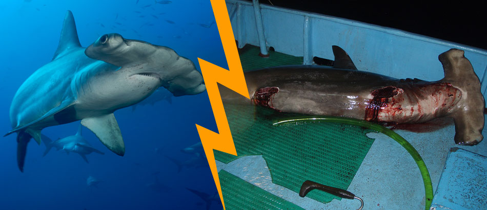 China… Save hammerhead sharks!