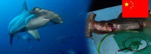 Hammerhead sharks are preferred for shark finning