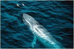whales_home_blue_whale_01[1]