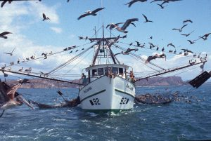 Shrimp trawlers target spotted rose snapper and other fishes, and not shrimp as thier license dictates