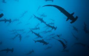 School of hammerhead sharks in Cocos Island
