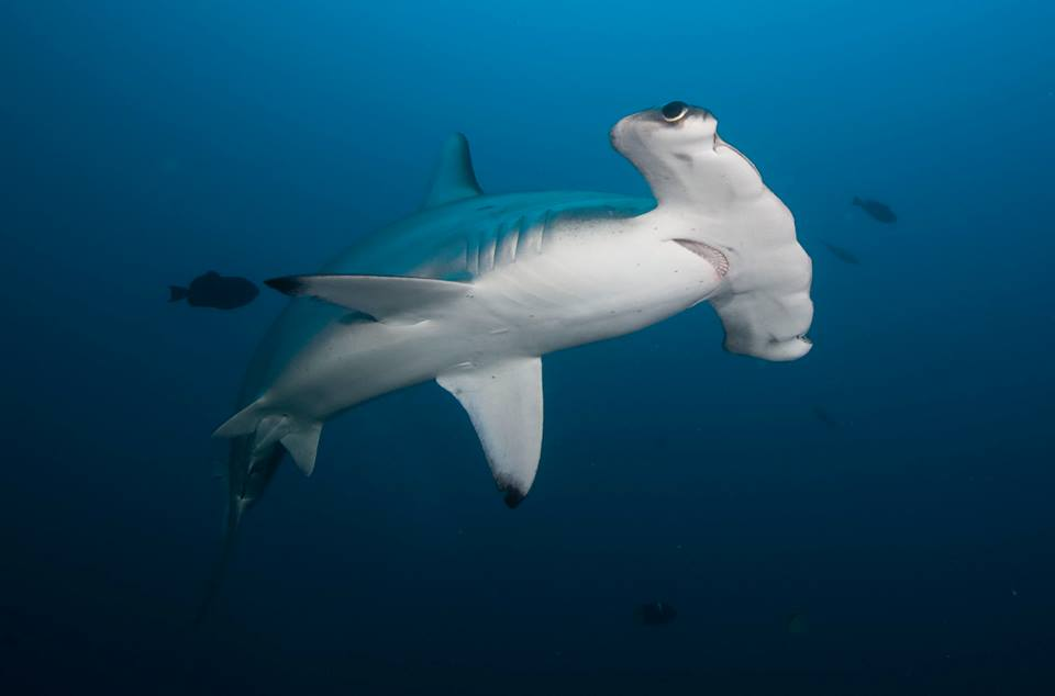 Janet Thomas Shark Tagging Research Expedition to Cocos Island 2015