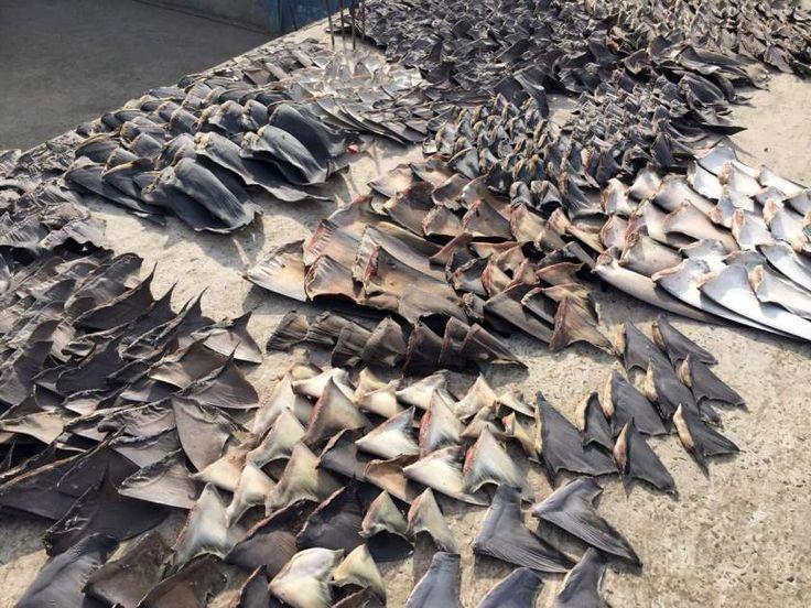 Costa Rica y sus políticas de «conservación de tiburones»