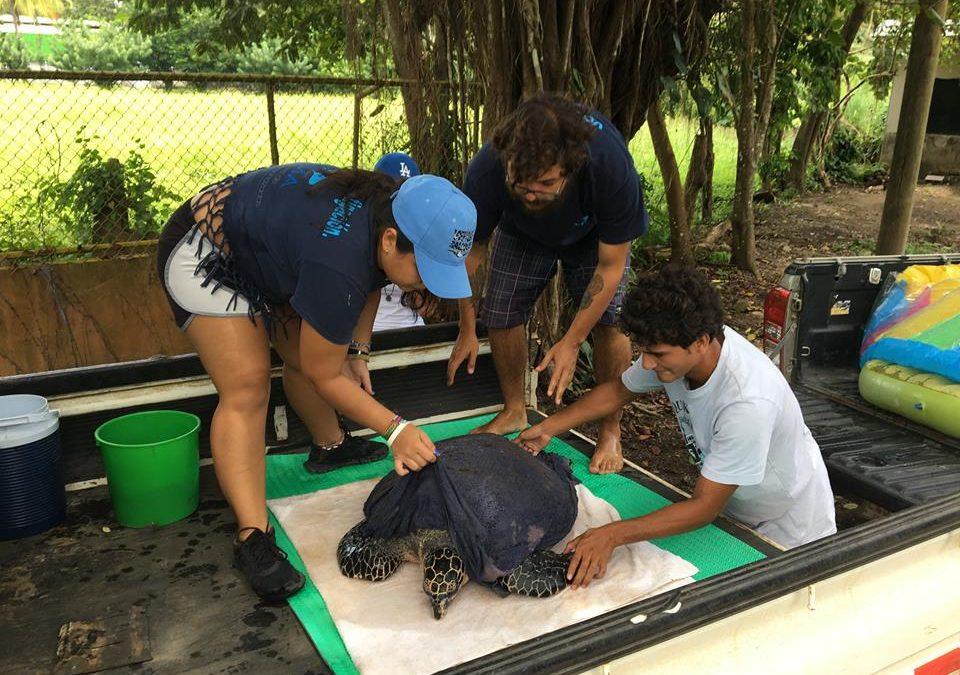 Proyecto de Investigación de CREMA Sobre Tortugas Carey Será Presentado en Cambridge