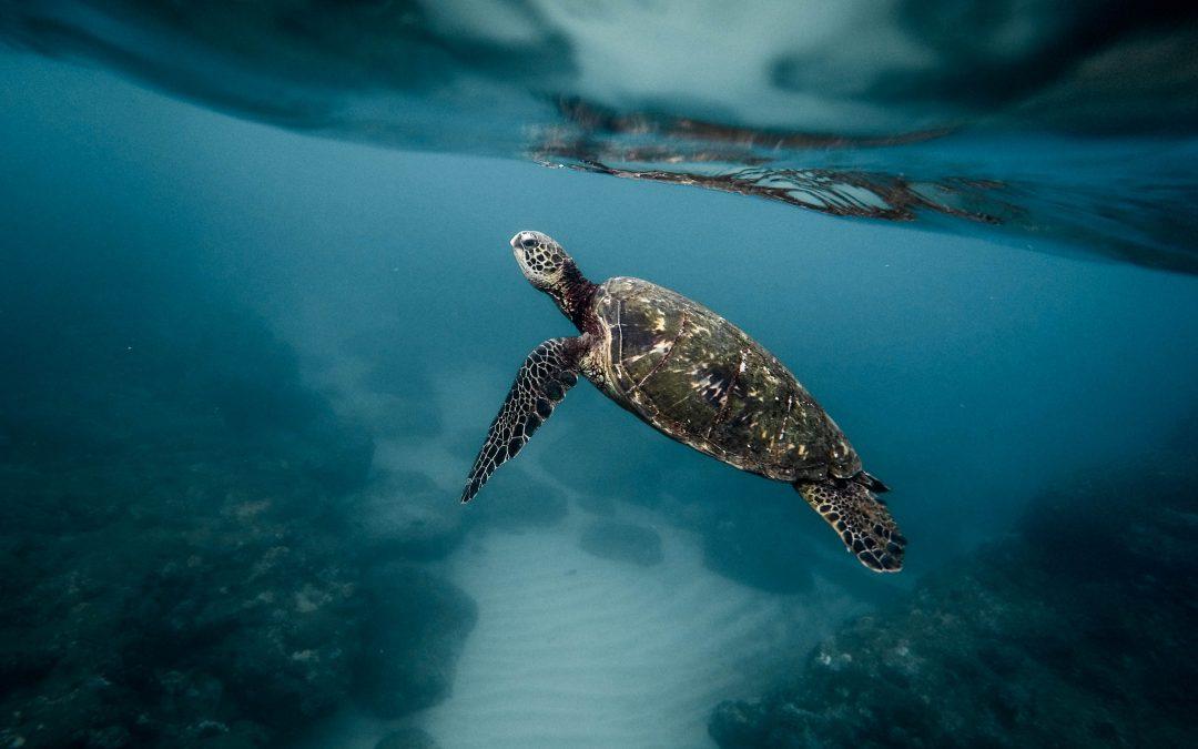 Proyecto de Monitoreo de la Tortuga Marina Carey en Cabo Blanco