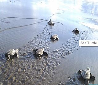 Tortuguitas nacen en los proyectos de CREMA, en la Península de Nicoya, Guanacaste, Costa Rica