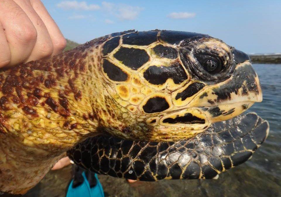 Otra Tortuga Carey es rescatada en Guajiniquil