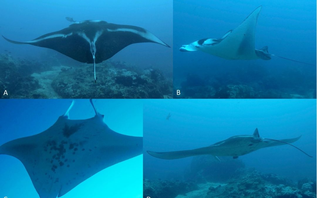 REEF MANTA RAY RECORDED FOR FIRST TIME IN EASTERN PACIFIC