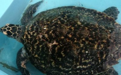 We show CREMA'S Hawksbill Sea Turtle Research Projet