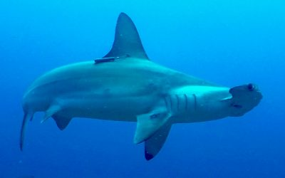 Guardianes de los tiburones de la Isla del Coco