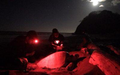 CREMA busca científicos para coordinar proyectos de anidación de tortugas marinas, temporada 2021-2022.