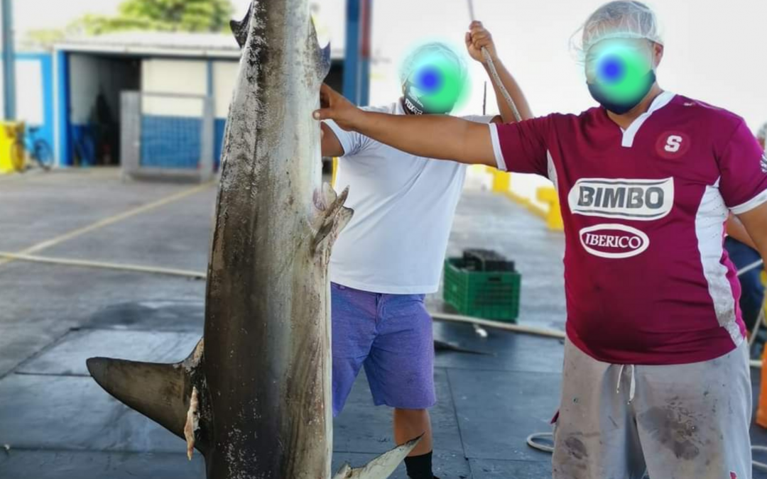 Whistle blown on alarming 94% decline of hammerhead shark landings in Costa Rica