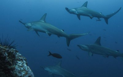 ¿Want to know how to help to conserve sharks? (ZOOM MEETING)