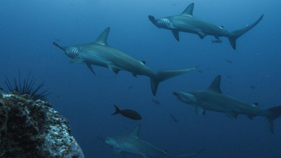 Ministerio de Ambiente está en contra de comercio de Tiburón Martillo