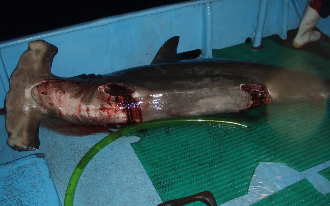 Sharks Still Commercial Species and Not Wildlife in Costa Rica, says Administrative Contentious Court