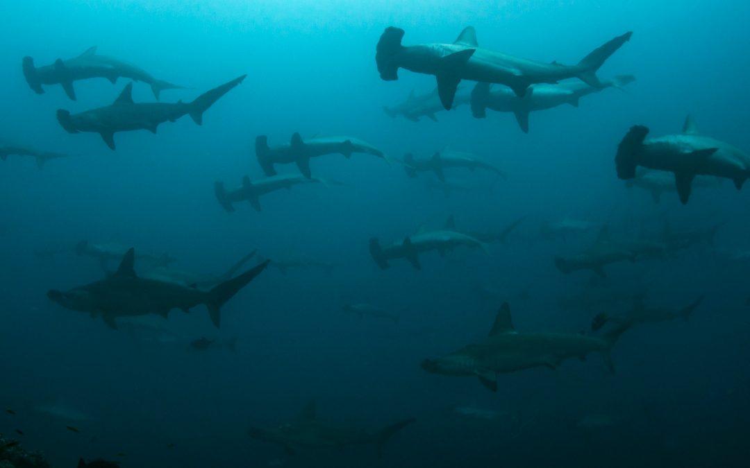 Tiburones en peligro de extinción ahora en la lista nacional de especies amenazadas