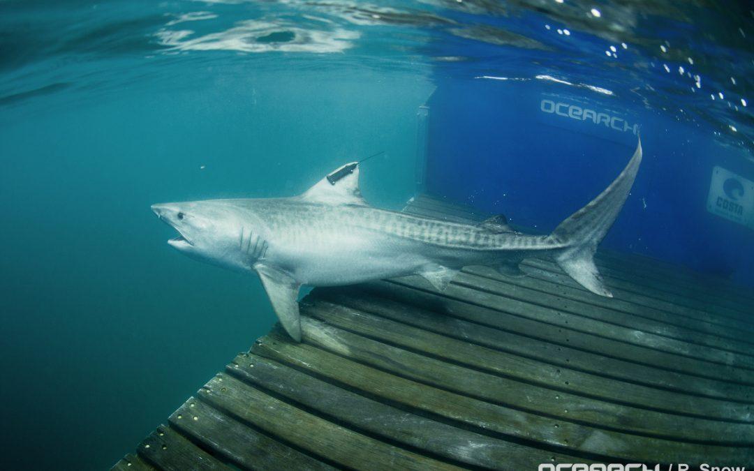 Viaje Histórico de un Tiburón Tigre desde la Reserva Marina de Galápagos hasta el Parque Nacional Isla del Coco